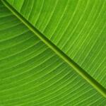 geurnoot bananenblad