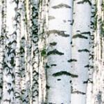 geurnoot berkehout