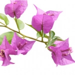 geurnoot Bougainville