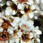 geurnoot fragonia