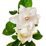 geurnoot gardenia