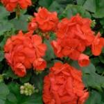 geurnoot geranium
