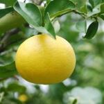 geurnoot grapefruitbloesem