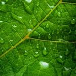 geurnoot groene noten