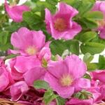 Geurnoot japanse roos