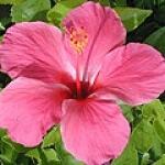 geurnoot hibiscus