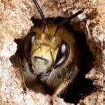 geurnoot honing