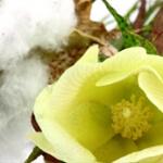 geurnoot katoenbloem