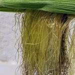 Geurnoot kukuruzna svila