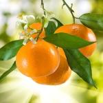 mandarijnbloesem