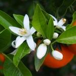 geurnoot oranjebloesem
