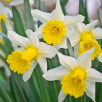 geurnoot narcis
