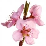 geurnoot nectarinebloesem