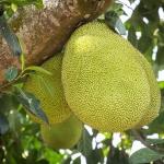geurnoot fruit